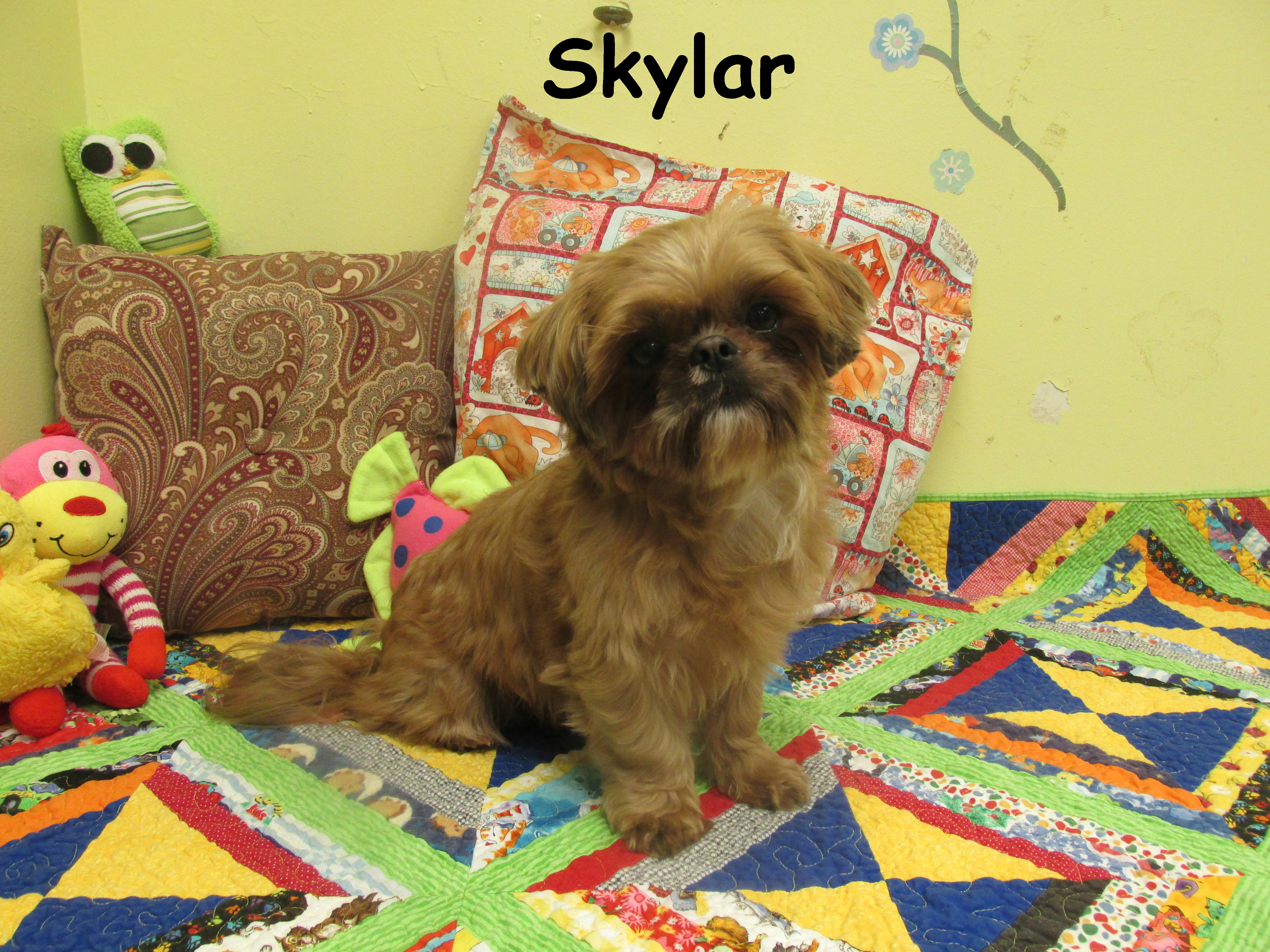 Home Shih Tzus Akc All Puppies Home Raised