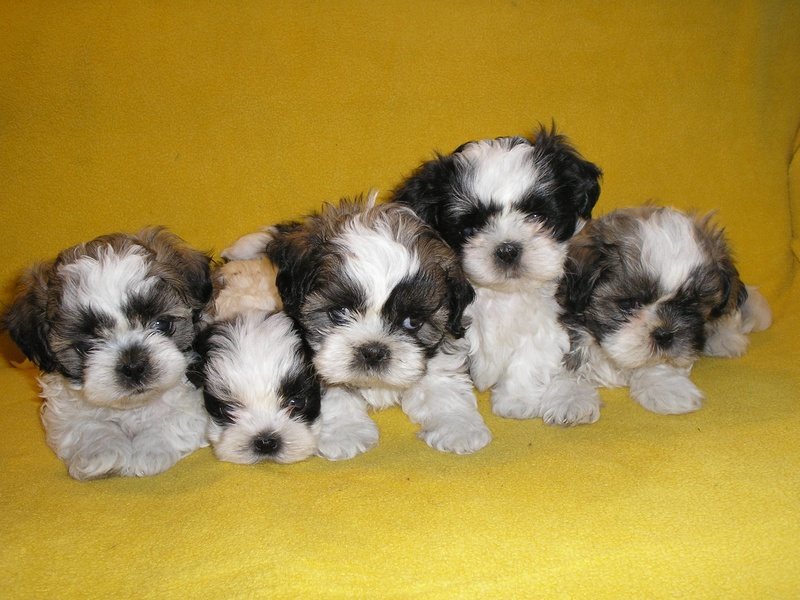 Jimmys Puppies Shih Tzus Akc All Puppies Home Raised